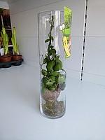 Дисхидия в морской раковине, Комнатные растения