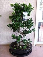 Комнатные растения   Фикус Гинзенг (бонсай), Растения комнатные