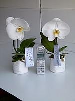 Цветы комнатные  Орхидея фаленопсис гибридный,  Комнатные цветы и растения