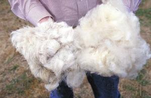 Wool short-haired from a sheep live, thin