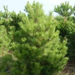 To buy saplings of pines, Saplings of pines in