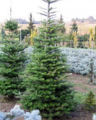 Fir, fir Saplings, Saplings of coniferous plants