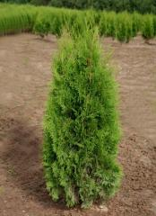 Thuja, thuja Saplings, Saplings of coniferous
