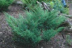 Saplings of savin juniper, Saplings of trees,