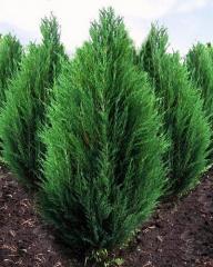 Rocky Mountain juniper, juniper Saplings, Saplings