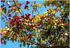 To buy hawthorn saplings, Saplings of hawthorn in