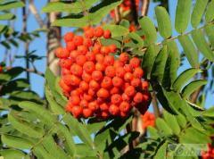 The mountain ash to buy saplings, Saplings of