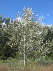 To buy poplar saplings, Saplings of poplar in