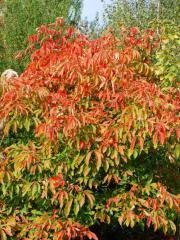 To buy maple saplings, Saplings of maple in