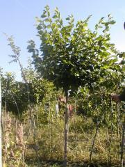 English elm saplings, Saplings of broadleaved