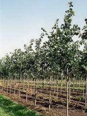 To buy linden saplings, Saplings of broadleaved