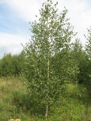 To buy birch saplings, Saplings of birch in