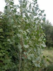 Aspen saplings, Saplings of trees