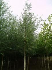 Willow saplings, Saplings of broadleaved trees