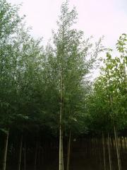 Willow saplings, Saplings of broadleaved trees