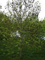 Elm saplings, Saplings of broadleaved trees