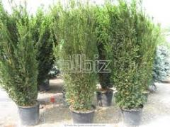 To buy saplings of forest trees, Saplings of