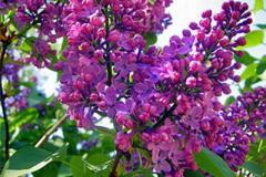 Hungarian lilac, lilac Saplings, Saplings of