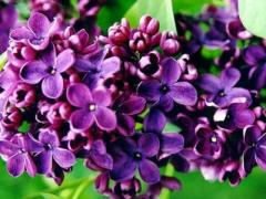 Lilac Fires of Donbass, Fires of Donbass, lilac