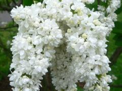 Lilac Zhanna D'Ark, lilac Saplings, Zhanna D'Ark