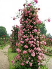 Rose pletisty, Saplings of roses, Saplings of
