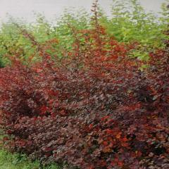 The barberry is decorative, Saplings of bushes,