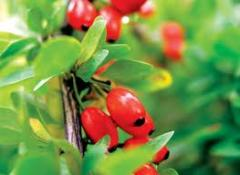 To buy barberry saplings, Saplings of barberry in