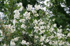 To buy jasmine saplings, Saplings of jasmine in