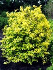 Lythrum, lythrum Saplings, ornamental shrubs