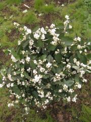 Snowberry, snowberry Saplings, ornamental shrubs