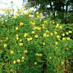 The clematis is yellow, to buy Saplings of