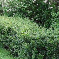 Cotoneaster saplings, Cotoneaster, Saplings of