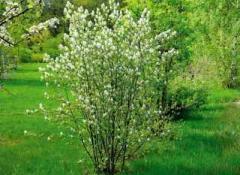 Mespilus saplings, Mespilus, Saplings of