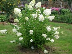 Hydrangea saplings, Ornamental plants