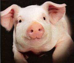 Свиньи основного стада
