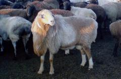 Sheep of the Kazakh breed, grubosherstny