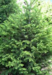 Saplings of fir-trees in Kazakhstan