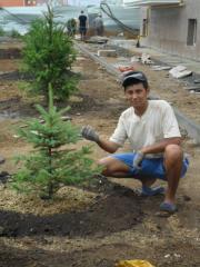 The fir-tree, Saplings were eaten to buy in