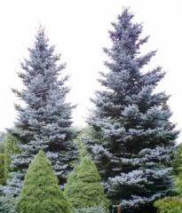 Blue spruce, prickly, sale of saplings in