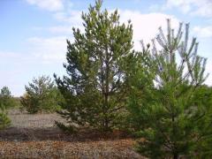 Pine ordinary in Kazakhstan, sale, saplings in