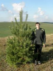 Sale of saplings of pines in Kazakhstan