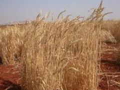 Пшеница мягкая яровая