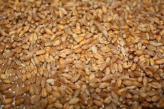 Wheat germinated, malt, wormwood smell.