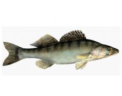 Pike perches, fish