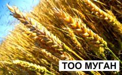 Пшеница в Казахстане