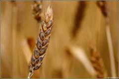 Пшеница мягкая озимая