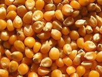 Corn fodder