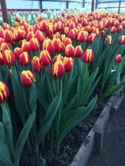 Тюльпан Denmark