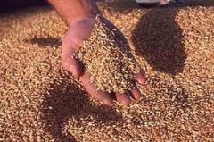 Пшеница второго класса