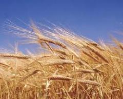 Пшеница третьего класса